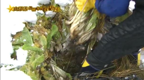 雪菜_収穫1