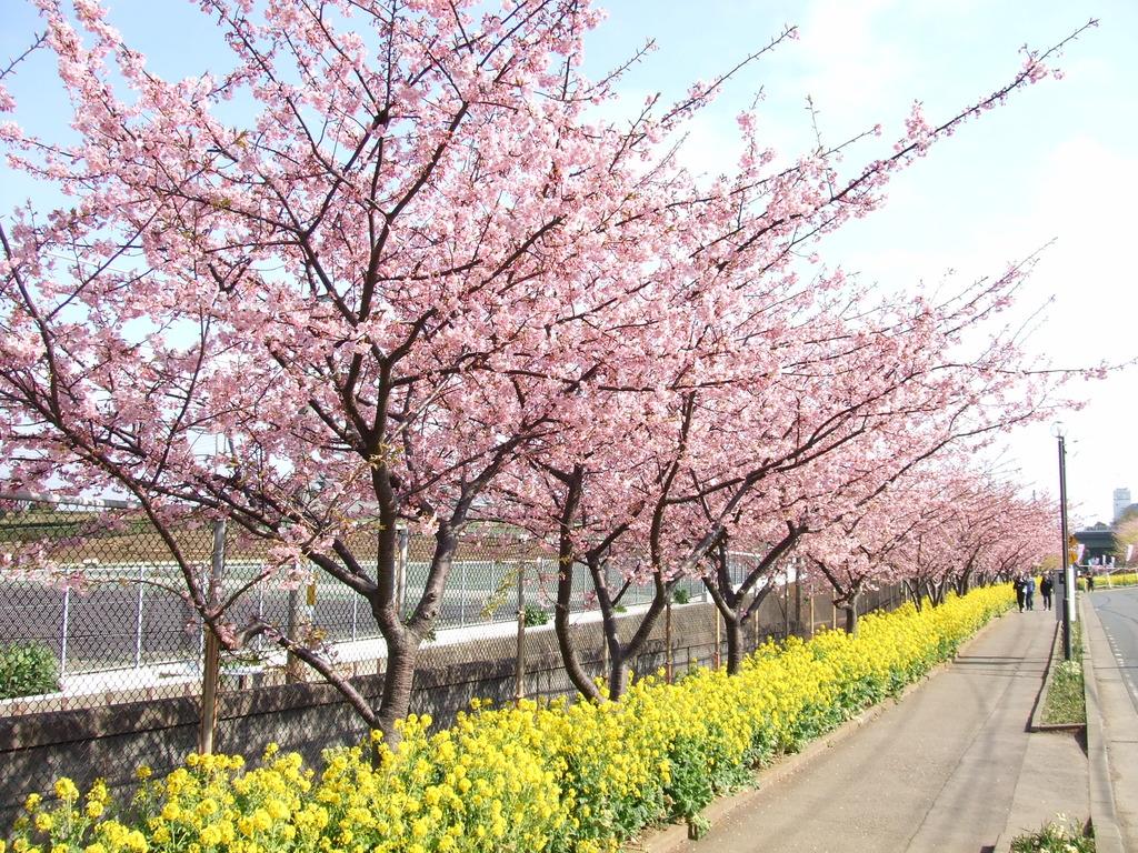 三浦海岸駅_河津桜と菜の花