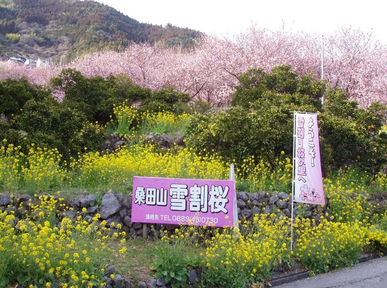桑田山雪割桜_005