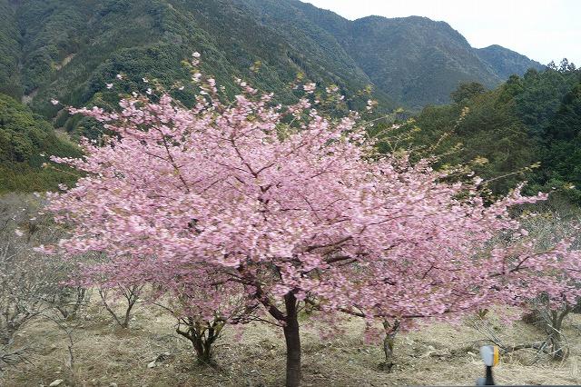 熊野古道_桜