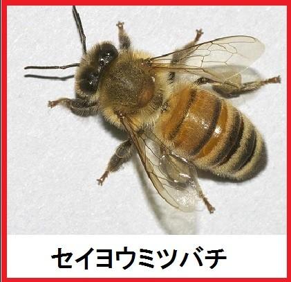 セイヨウミツバチ_01