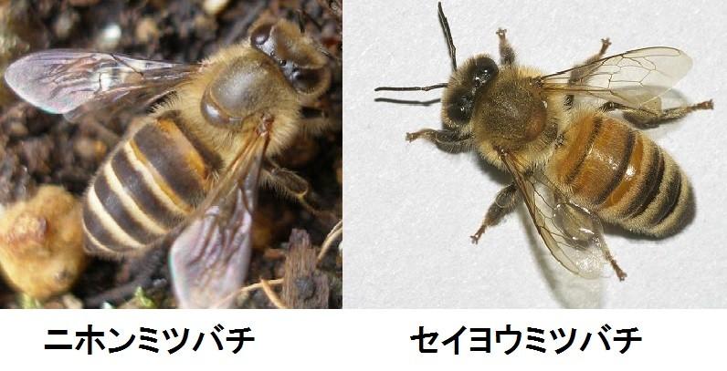 ニホンミツバチ_04